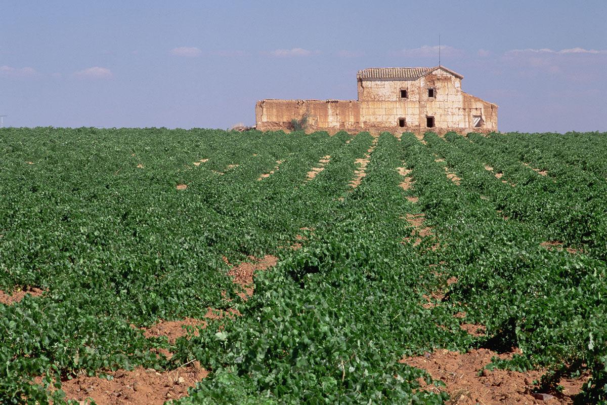 Uno de los numerosos viñedos que rodean Valdepeñas.