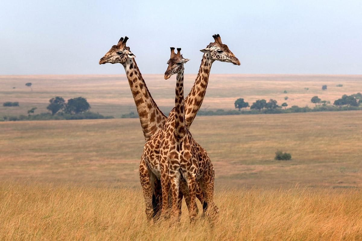 destinos destrozados turismo masivo masai mara