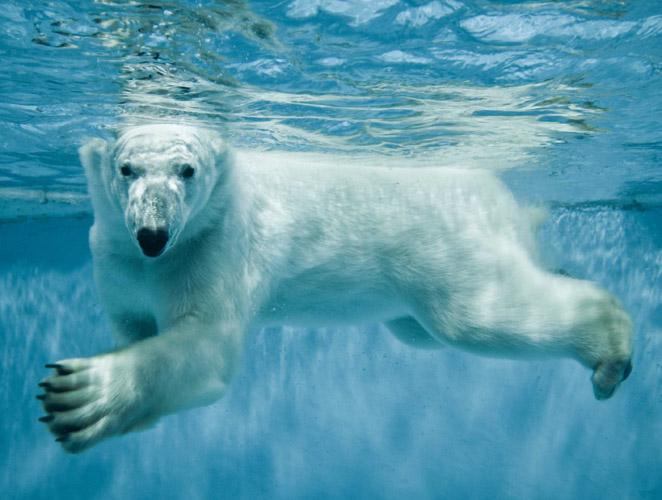 No pienses en el oso blanco