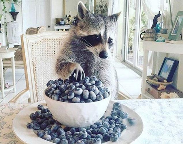 La nueva mascota de Internet es una mapache muy sofisticada